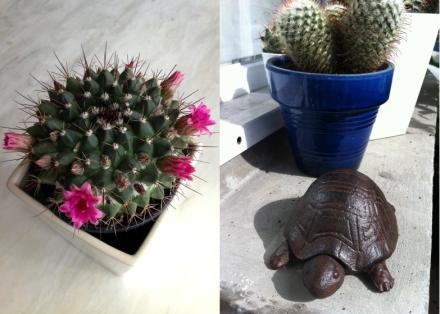Cactus en fleurs et notre petite tortue