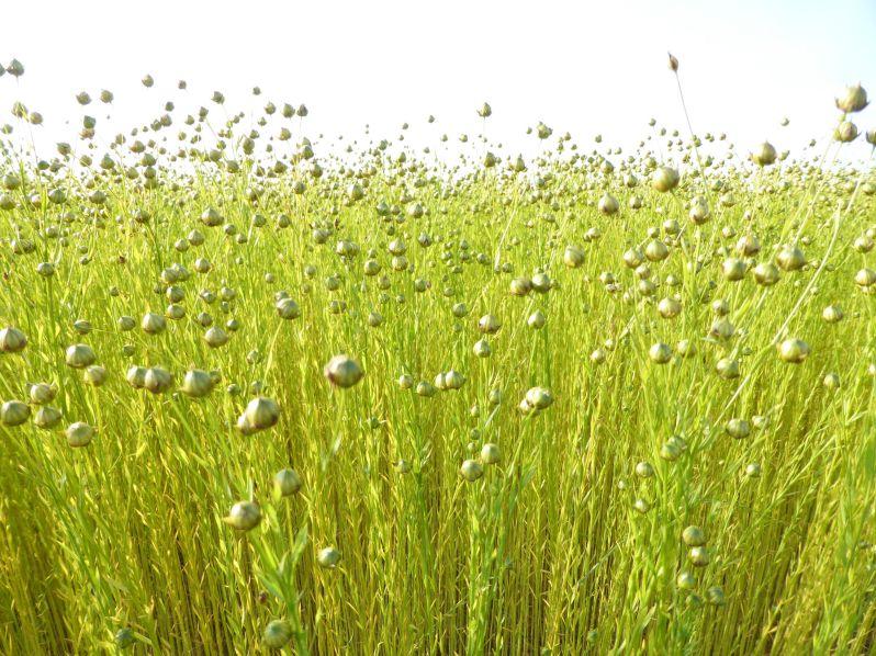 LDdA_Diversification-bebe-huiles-vegetales-lin