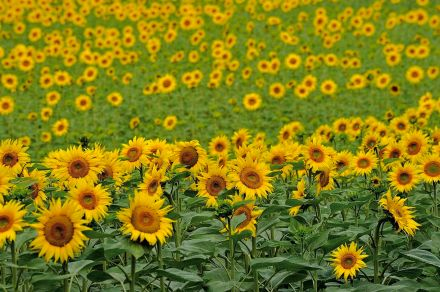 LDdA_Diversification-bebe-huiles-vegetales-tournesol