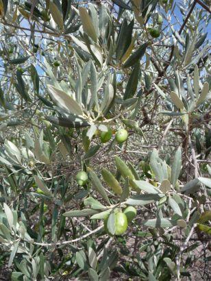 LDdA_Huiles-végétales-Olives