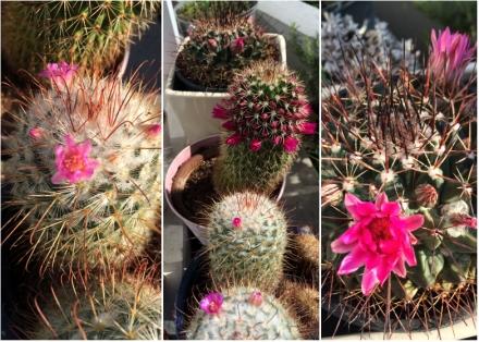 LDdA-notre-petit-coin-de-verdure_09_Premieres-fleurs-cactus