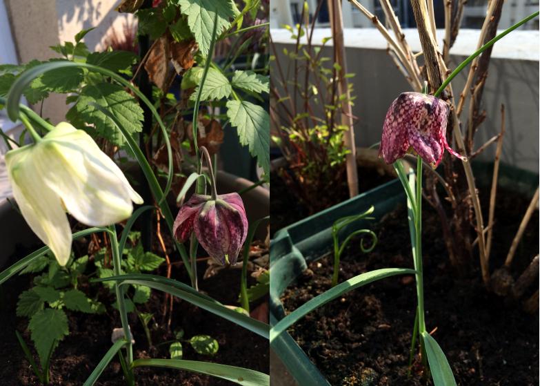 LDdA-notre-petit-coin-de-verdure_09_Premieres-fleurs