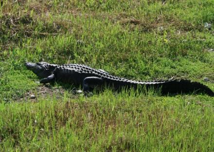 LDdA_Anais-voyage-dans-son-assiette-USA_Everglades_Anhinga_Trail_02