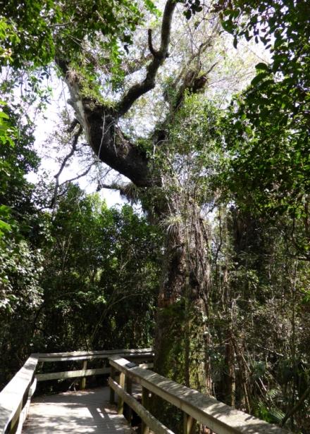 LDdA_Anais-voyage-dans-son-assiette-USA_Everglades_Mahogany_Hammock_03
