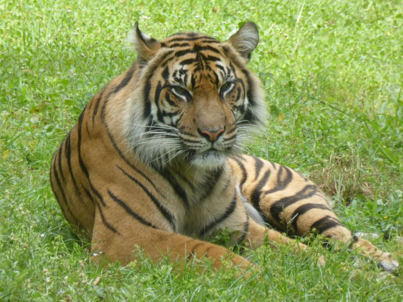 LDdA_Anais-voyage-dans-son-assiette_USA_Orlando_Animal_kingdom_Tigre