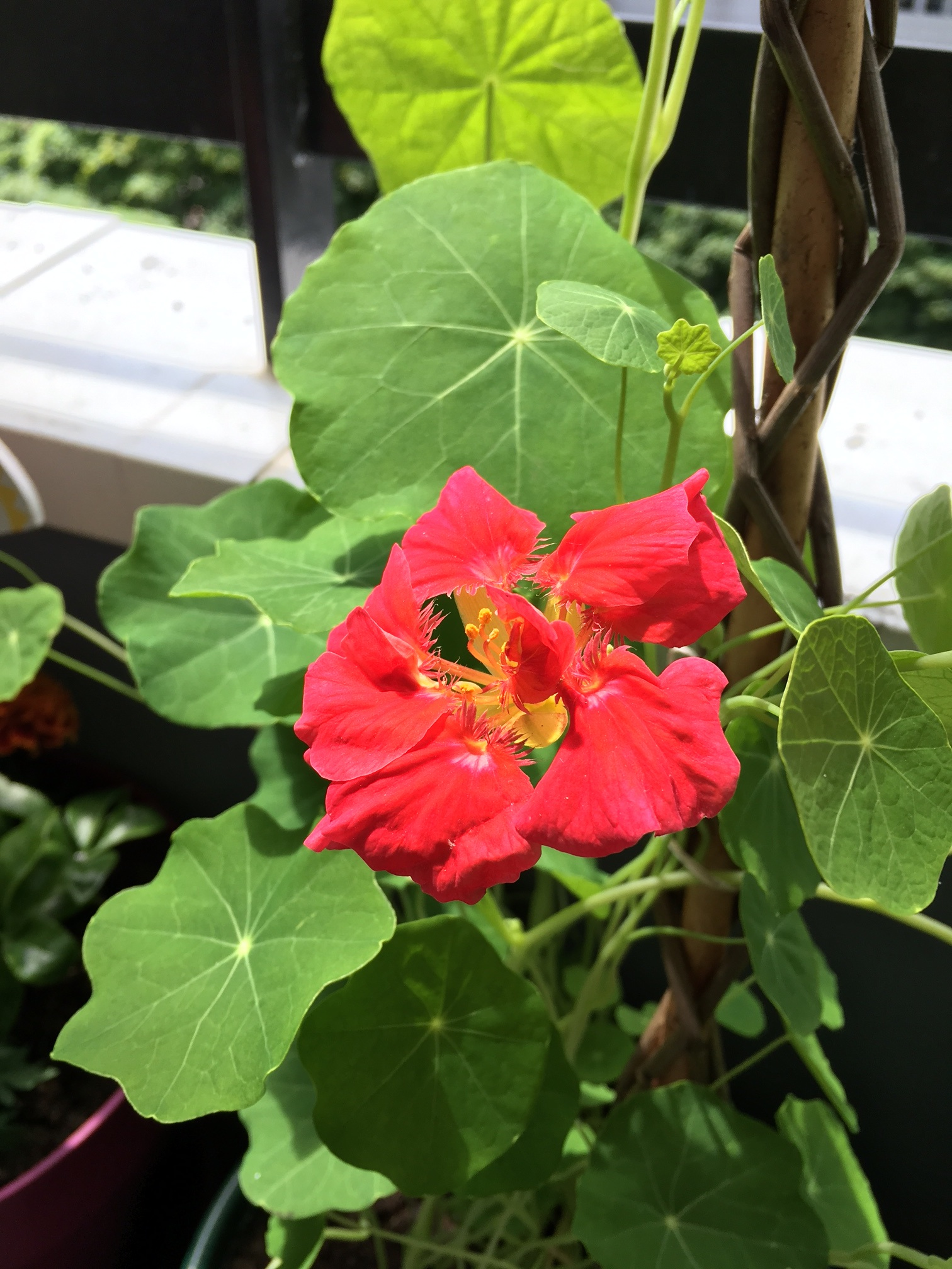 Ces fleurs que l'on peut manger : la capucine - Les ...